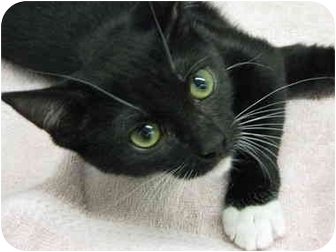 Domestic Shorthair Cat for adoption in West Dundee, Illinois - Peyton
