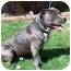 Photo 3 - American Pit Bull Terrier Dog for adoption in Hermosa, California - IcyBlue Chuck