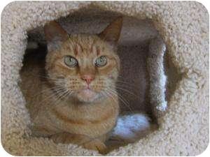 Domestic Shorthair Cat for adoption in Prescott, Arizona - Fred