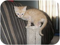 Domestic Shorthair Kitten for adoption in Tampa, Florida - Hannah