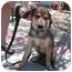 Photo 1 - Labrador Retriever/Hound (Unknown Type) Mix Puppy for adoption in White Settlement, Texas - Ayla's Java