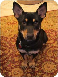 Corgi Mix Dog for adoption in Schertz, Texas - Moni