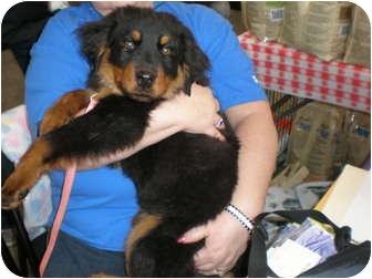 Rottweiler/Shepherd (Unknown Type) Mix Puppy for adoption in Franklin, Virginia - Harley