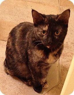 Domestic Shorthair Kitten for adoption in Carlisle, Pennsylvania - Rosie(RS)