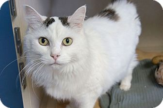 Domestic Longhair Cat for adoption in Chicago, Illinois - Kitty O'Shea