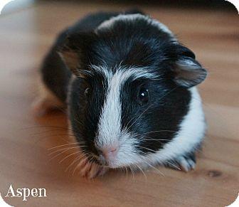 Guinea Pig for adoption in Brooklyn Park, Minnesota - Aspen