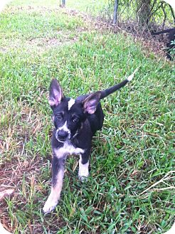 Border Collie/Shepherd (Unknown Type) Mix Puppy for adoption in Loxahatchee, Florida - Theodore