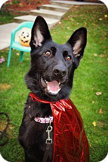 German Shepherd Dog Dog for adoption in Grafton, Massachusetts - Jet