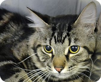Domestic Shorthair Cat for adoption in Searcy, Arkansas - Joey