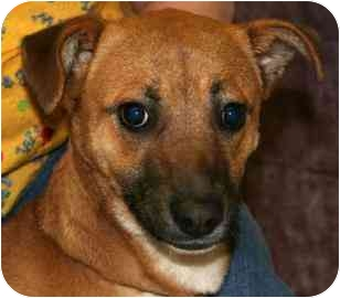 Whippet Mix Puppy for adoption in Frankfort, Illinois - Chula