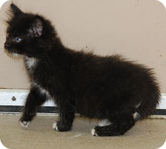 Maine Coon Kitten for adoption in Bucyrus, Ohio - Boo Radley