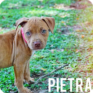 Pit Bull Terrier/American Staffordshire Terrier Mix Puppy for adoption in Groveland, Florida - Pietra (8 weeks)