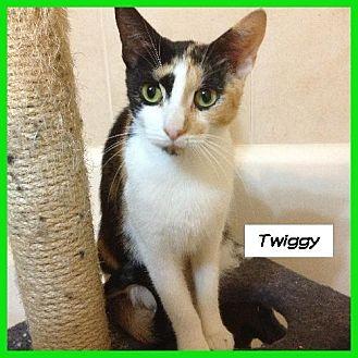 Calico Cat for adoption in Miami, Florida - Twiggy