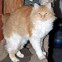 Domestic Longhair Cat for adoption in Ocean View, New Jersey - Felicia