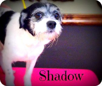 Rat Terrier/Shih Tzu Mix Dog for adoption in Defiance, Ohio - Shadow
