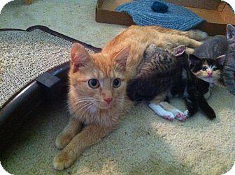 Domestic Shorthair Kitten for adoption in Fairborn, Ohio - Litter of 6