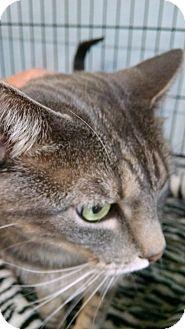 Bengal Cat for adoption in San Dimas, California - Truman