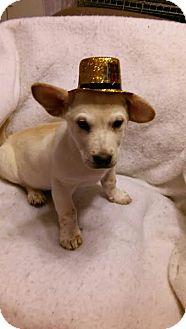 Corgi Mix Puppy for adoption in Plainfield, Illinois - Snow