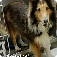 Adopt A Pet :: Angel # 4 - COLUMBUS, OH