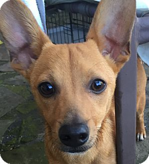 Dachshund/Chihuahua Mix Dog for adoption in Arlington, Texas - DODGER