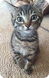 Domestic Shorthair Kitten for adoption in Attalla, Alabama - Heidi