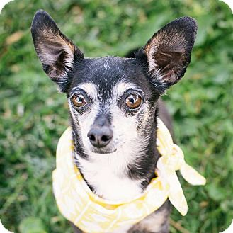 Chihuahua/Chihuahua Mix Dog for adoption in Pueblo, Colorado - Radar