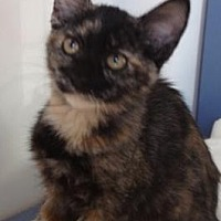 Domestic Shorthair Kitten for adoption in Roseville, California - Choco