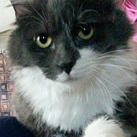 Maine Coon Cat for adoption in San Jose, California - Siena