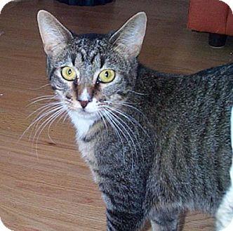 Domestic Mediumhair Kitten for adoption in Walnut Creek, California - Tiger