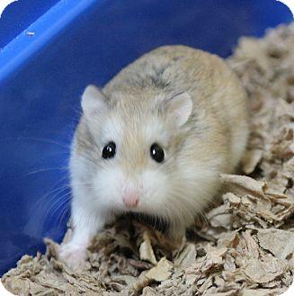 Hamster for adoption in Benbrook, Texas - Remington
