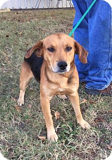 Beagle Mix Dog for adoption in Hagerstown, Maryland - Mickey D