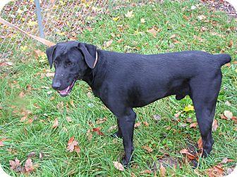 Doberman Pinscher/Labrador Retriever Mix Dog for adoption in Reed City, Michigan - APOLLO