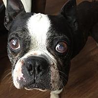 Adopt A Pet :: Gage - Sanger, TX