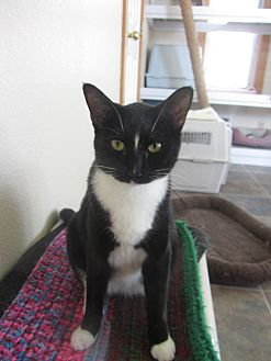Domestic Shorthair Cat for adoption in Ridgway, Colorado - Storm