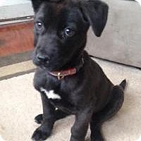 Adopt A Pet :: Bauer - Marlton, NJ
