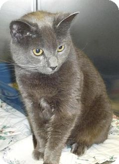 Domestic Shorthair Cat for adoption in Mineral, Virginia - Jessie
