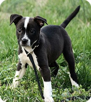 Border Collie/American Bulldog Mix Puppy for adoption in Allentown, Pennsylvania - Lennon
