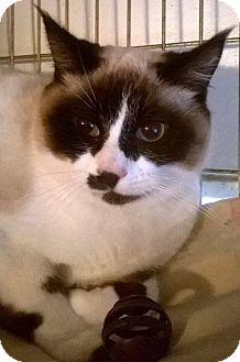Siamese Cat for adoption in Seattle c/o Kingston 98346/ Washington State, Washington - Frappucino and Cappuccino