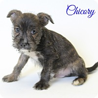 Adopt A Pet :: Chicory - Laplace, LA