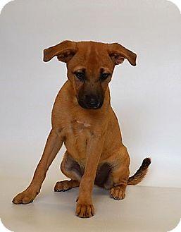Labrador Retriever/Shepherd (Unknown Type) Mix Puppy for adoption in New Iberia, Louisiana - PEEBLES