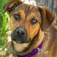 Adopt A Pet :: Dixie - Cheyenne, WY