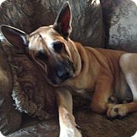 German Shepherd Dog Mix Dog for adoption in Orange, California - Cali
