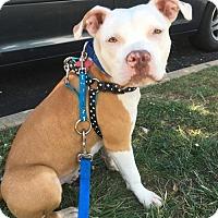 Adopt A Pet :: Ginger - Spotsylvania, VA