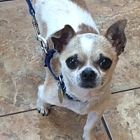 Adopt A Pet :: Mango - Oak Ridge, NJ