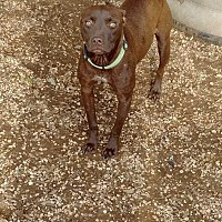Adopt A Pet :: Nella - San antonio, TX