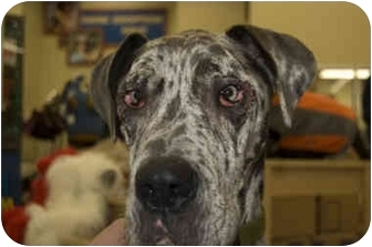 Great Dane Dog for adoption in Murfreesboro, Tennessee - Boomer- ADOPTED