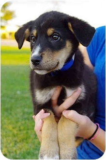 Border Collie/Shepherd (Unknown Type) Mix Puppy for adoption in Westminster, Colorado - Twix
