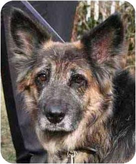German Shepherd Dog Dog for adoption in Wayland, Massachusetts - Izzy