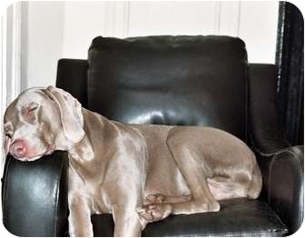 Weimaraner Dog for adoption in Attica, New York - Willy (and Maggy!)