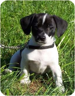 Jack Russell Terrier/Beagle Mix Puppy for adoption in Milford, New Jersey - April